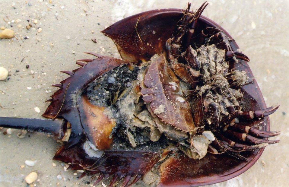 Large female horseshoe crab, washed ashore.