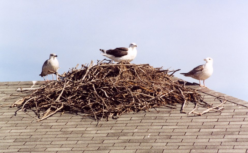 Gulls on osprey nest atop a boat house.