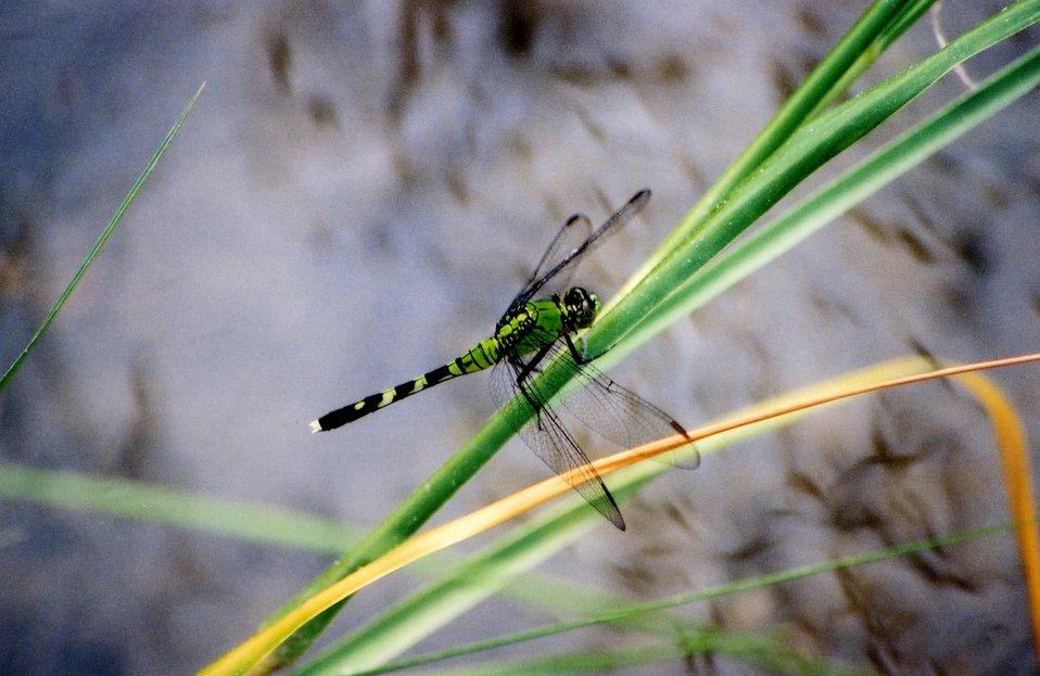 Eastern pondhawk dragonfly - Erythemis simplicicollis.