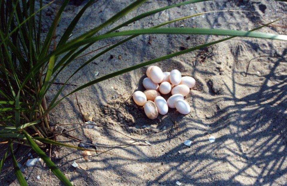 14 unhatched diamondback terrapin eggs in a sandy soil nest.