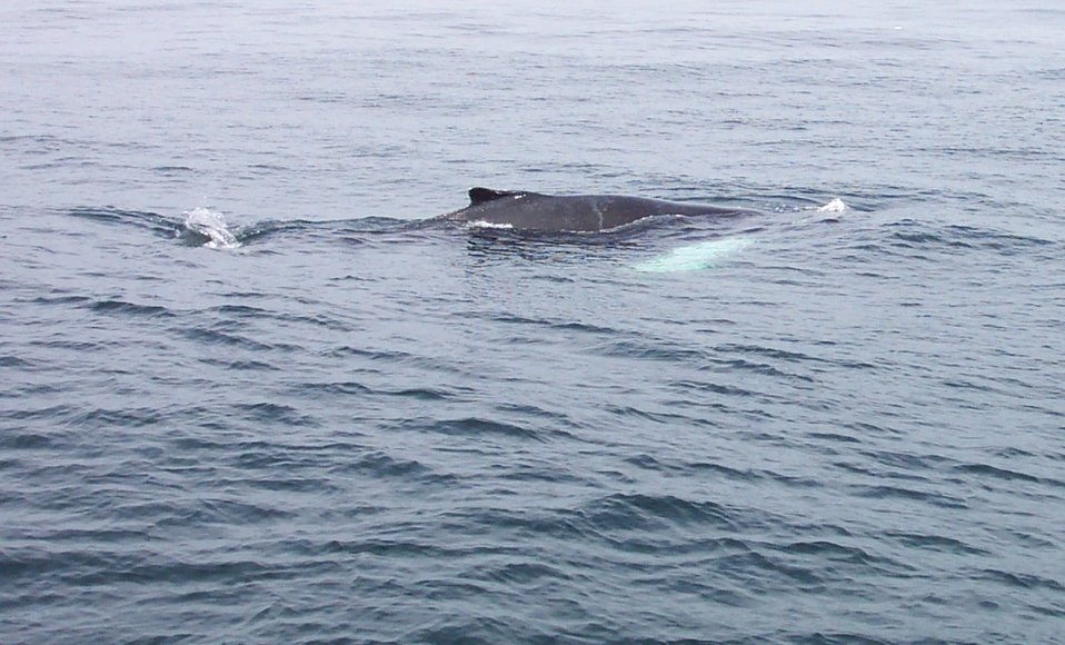 A humpback whale in the Gulf of Maine about 20 miles south of Bar Harbor.