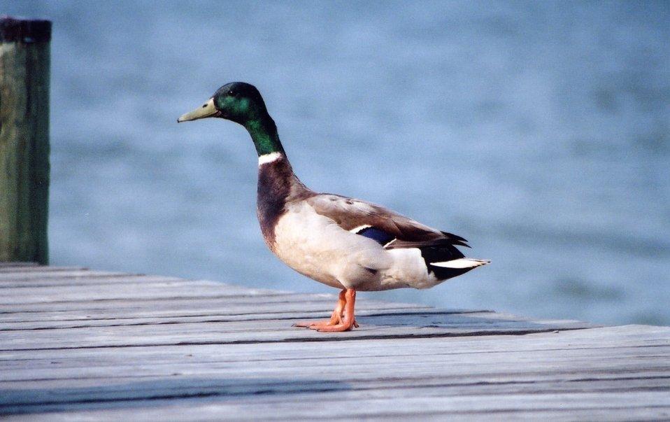 Mallard duck on a pier.