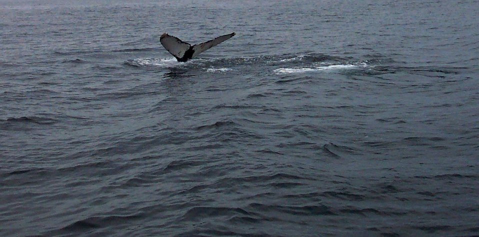 A humpback whale tail in the Gulf of Maine about 20 miles south of Bar Harbor.