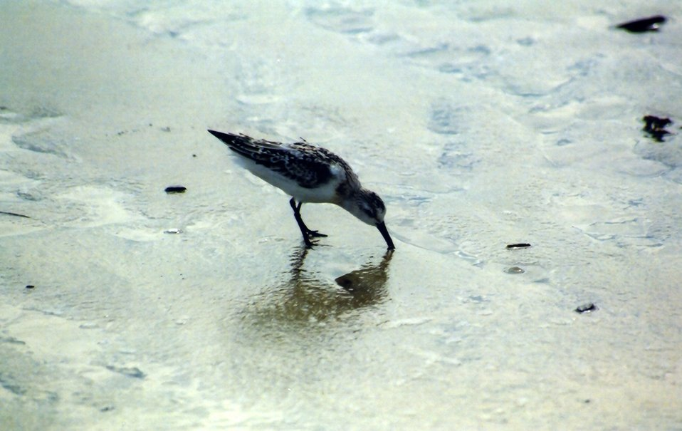 Sandpiper looking for lunch along a Gulf of Mexico beach.