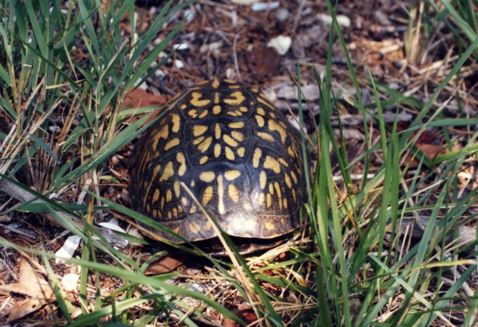 Box turtle.