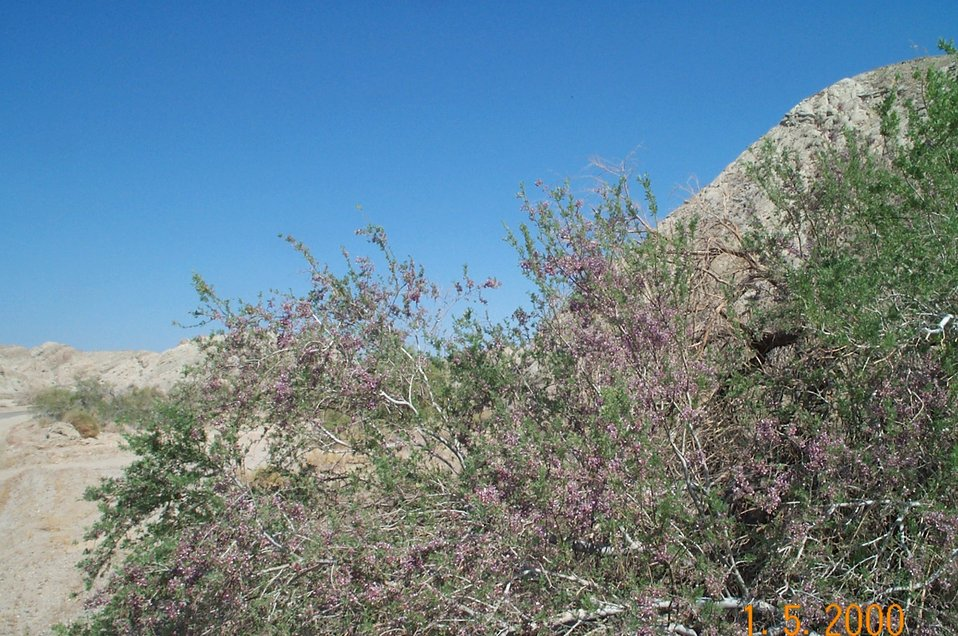 Desert vegetation (ironwood in bloom)