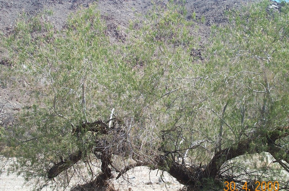 Desert vegetation (desert willow)