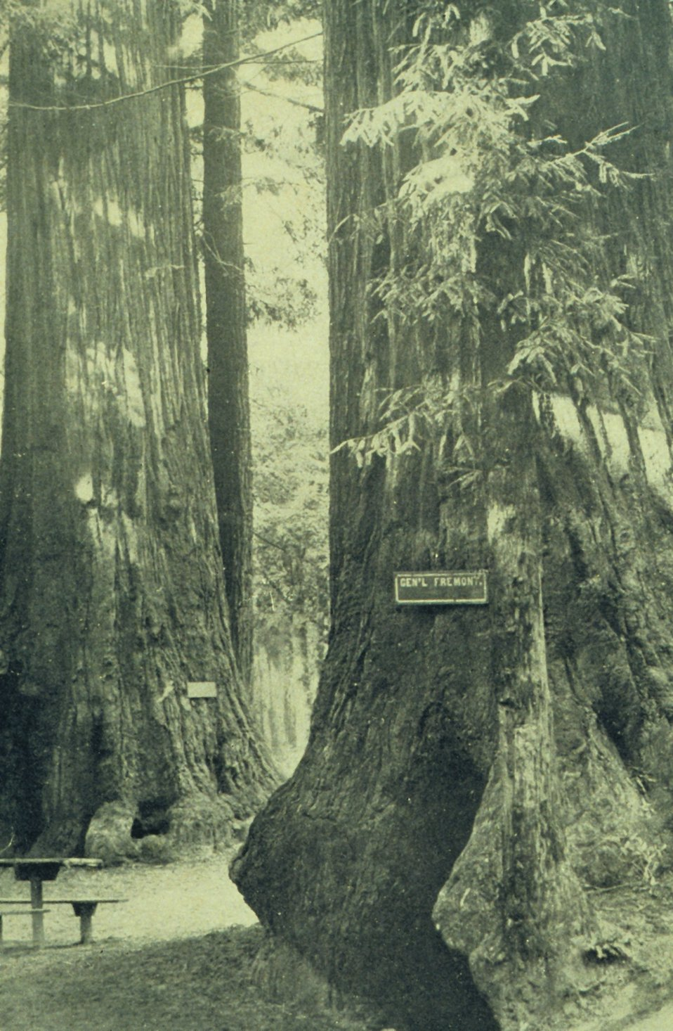 View in 'Big Trees' Grove, five miles from Santa Cruz with General Fremont tree. In: 'The City of Santa Cruz and VicinityCalifornia.' Published by The Santa Cruz  Board of Trade.  1905.