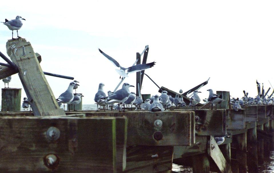 Seagulls on a hurricane-damaged pier.