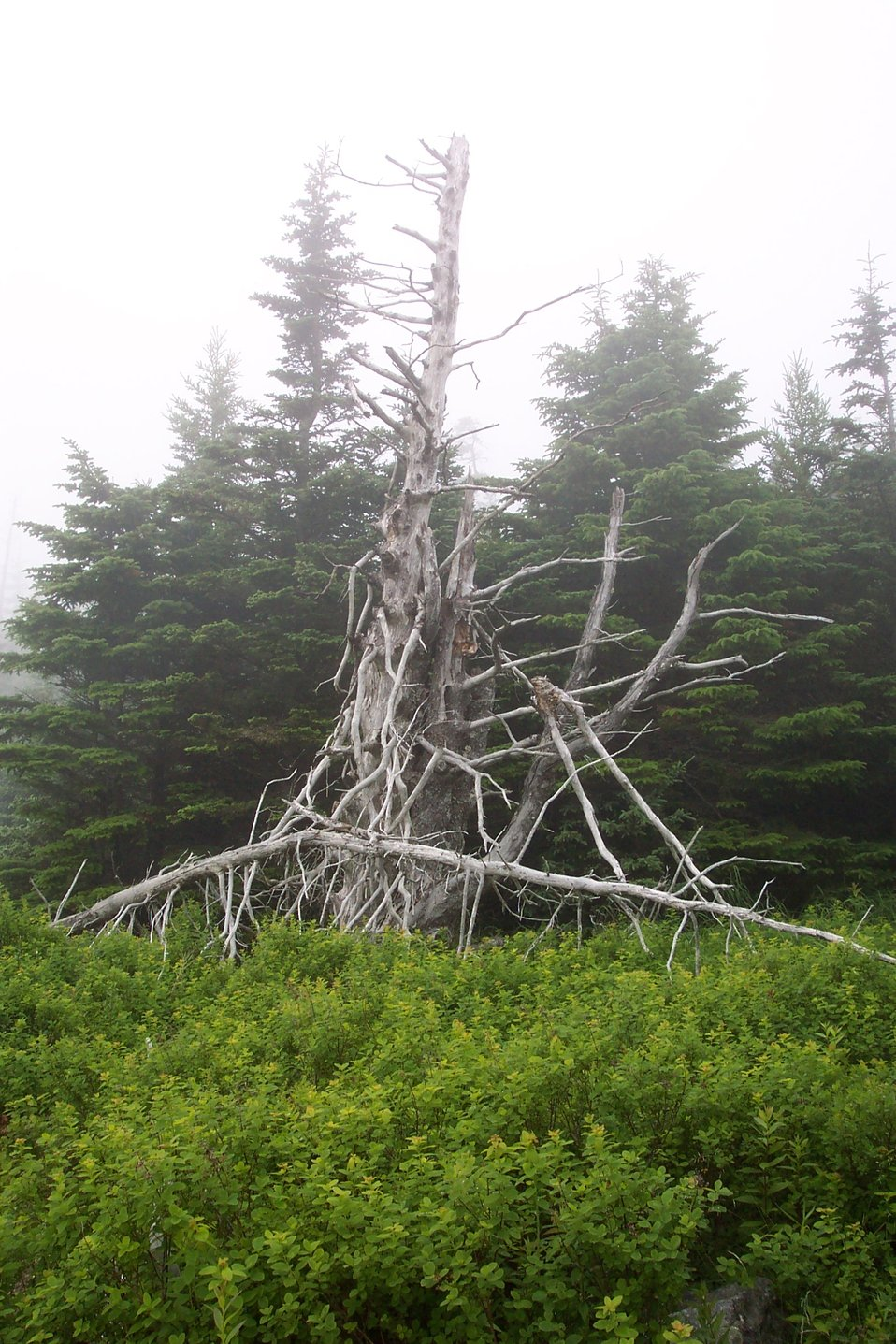 A good tree for a Harry Potter story at West Quoddy Head.