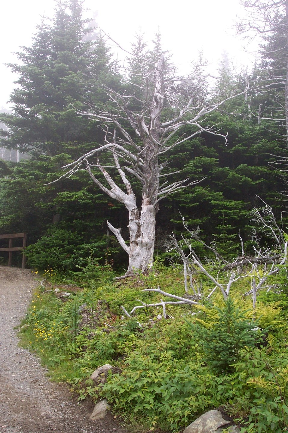 Another good tree for a Harry Potter story at West Quoddy Head.