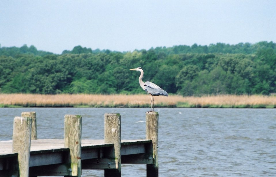 Great blue heron perched on a pier piling.