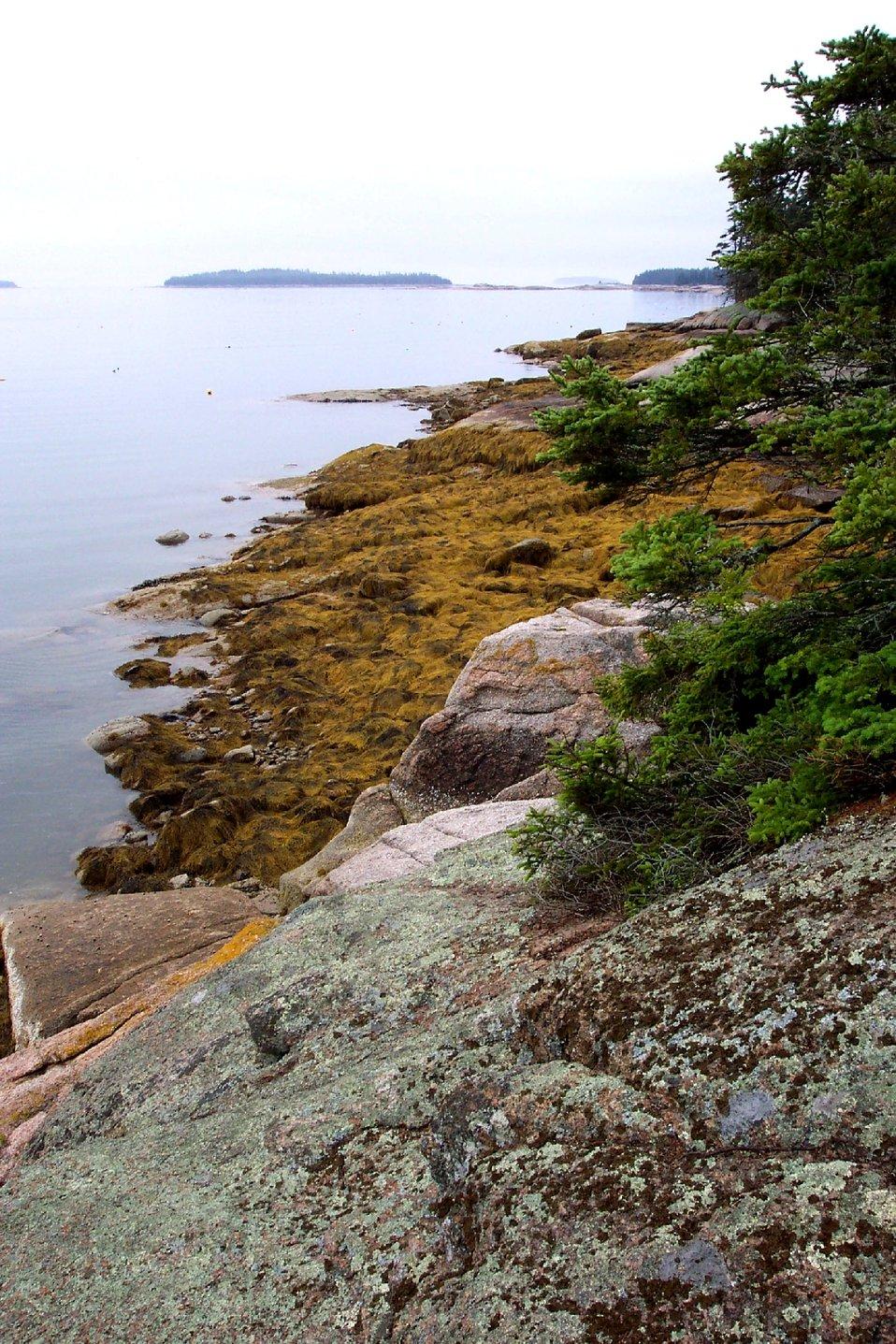 Lichen and conifer covered granite above kelp covered granitic rocks.