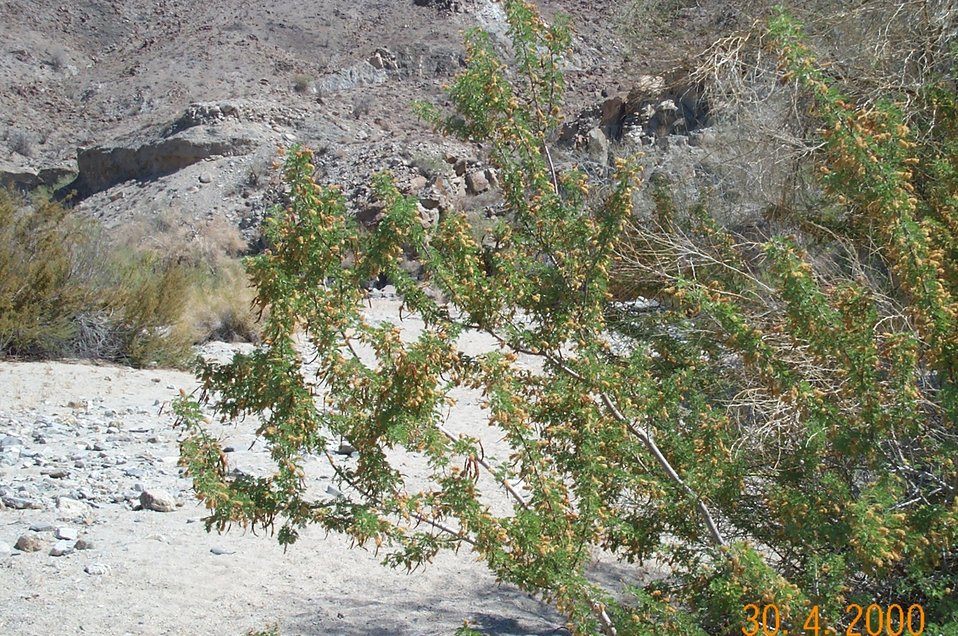 Desert vegetation (catclaw)