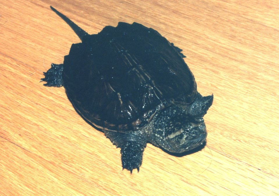A year-old snapping turtle.