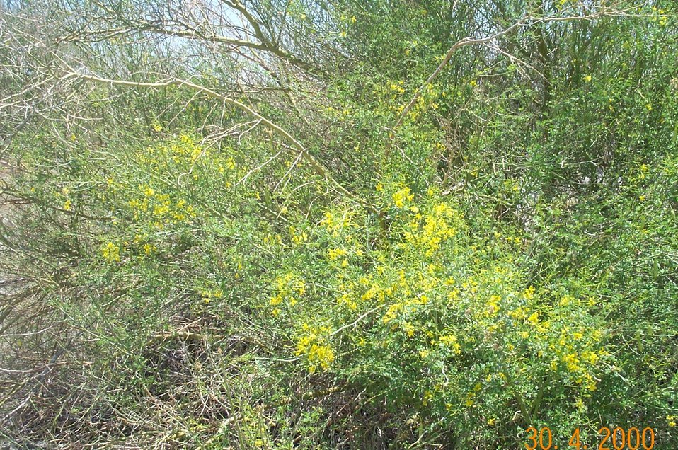 Desert vegetation (palo verde in bloom)