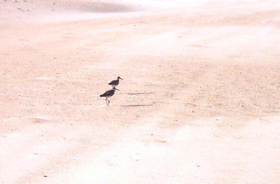 Shore birds at Cape Hatteras National Seashore.