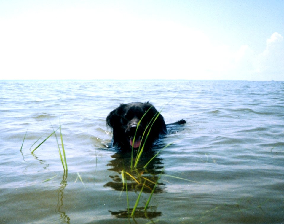 Chesapeake Water Dog, Canus aquus Chesapeakii.  This dog is trained to search for submerged aquatic vegetation.