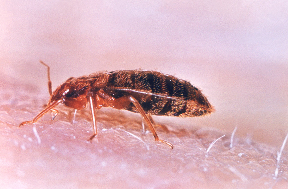 """This 'common bedbug"""" Cimex lectularius, uses its mouth parts adapted to piercing skin in order to obtain its blood meal."""
