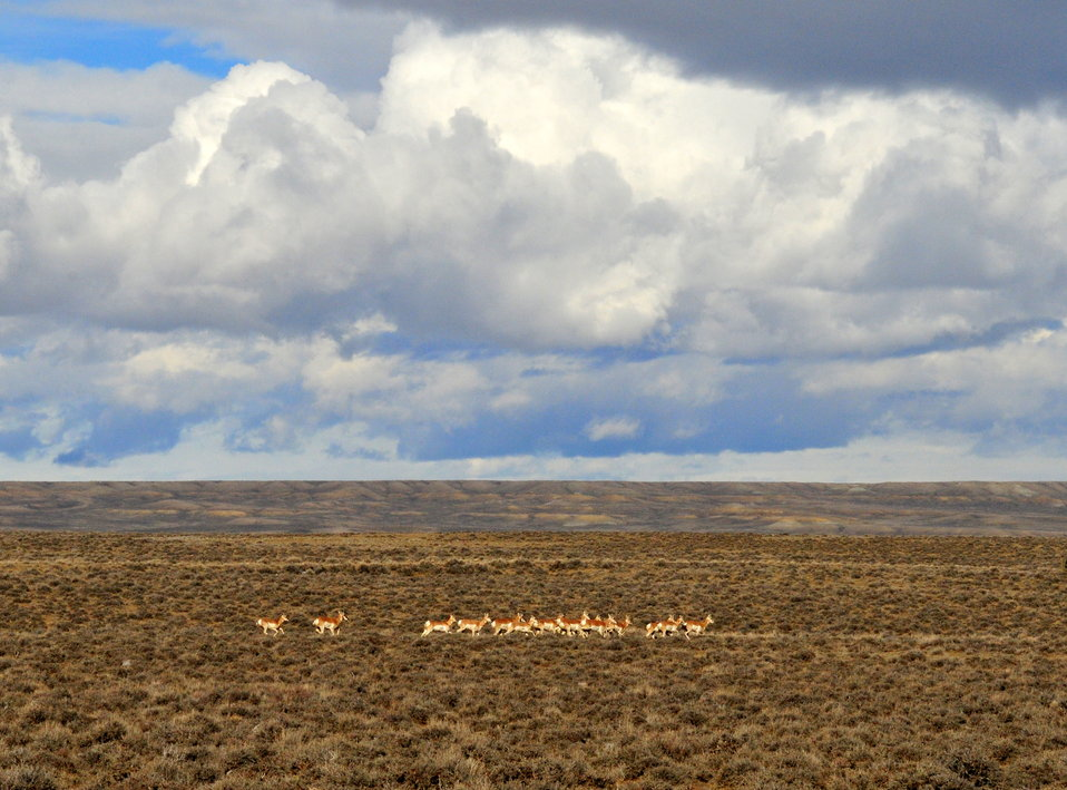 Pronghorns near Seedskadee NWR 02