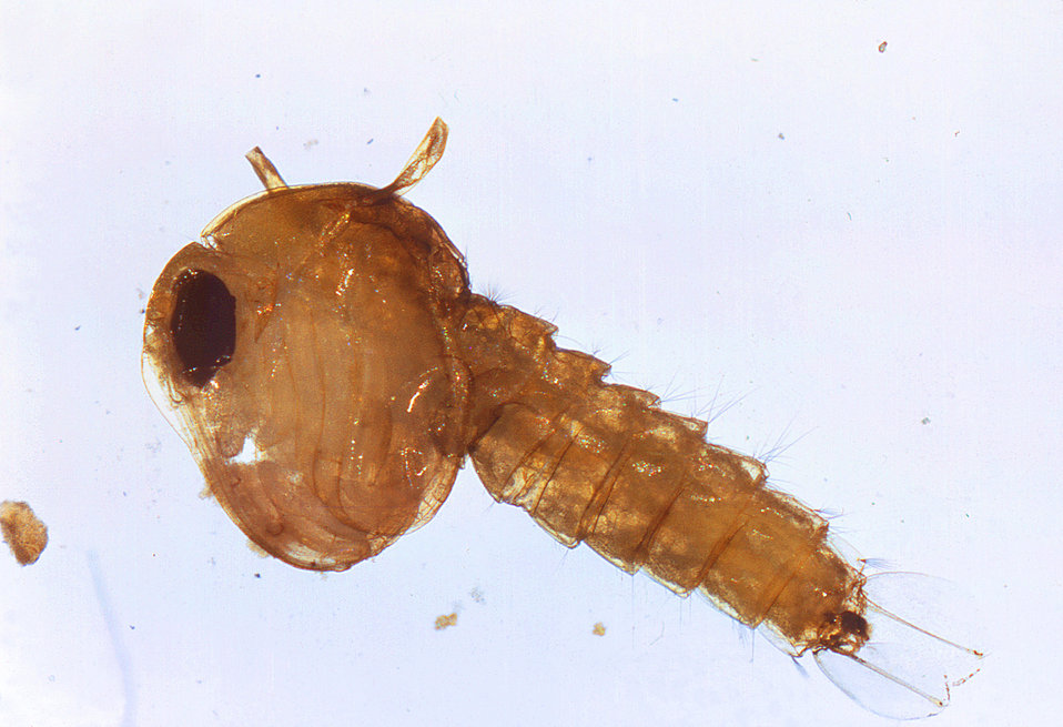 This is an enlarged view of a Culex quinquefasciatus mosquito pupa. The C. quinquefasciatus mosquito is known as one of the many arthropodal
