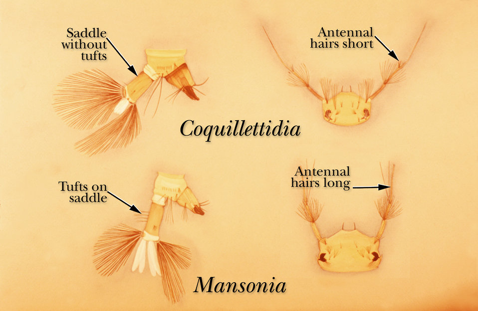 An illustration of Coquillettida and Mansonia mosquito larvae identifying their distinguishing structures.