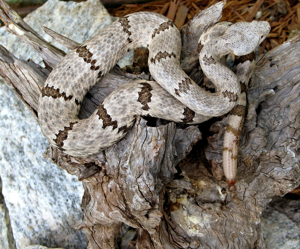 This 2005 image depicted a 'mottled rock' rattlesnake, Crotalus lepidus lepidus, a small banded rattlesnake species that along with the tran