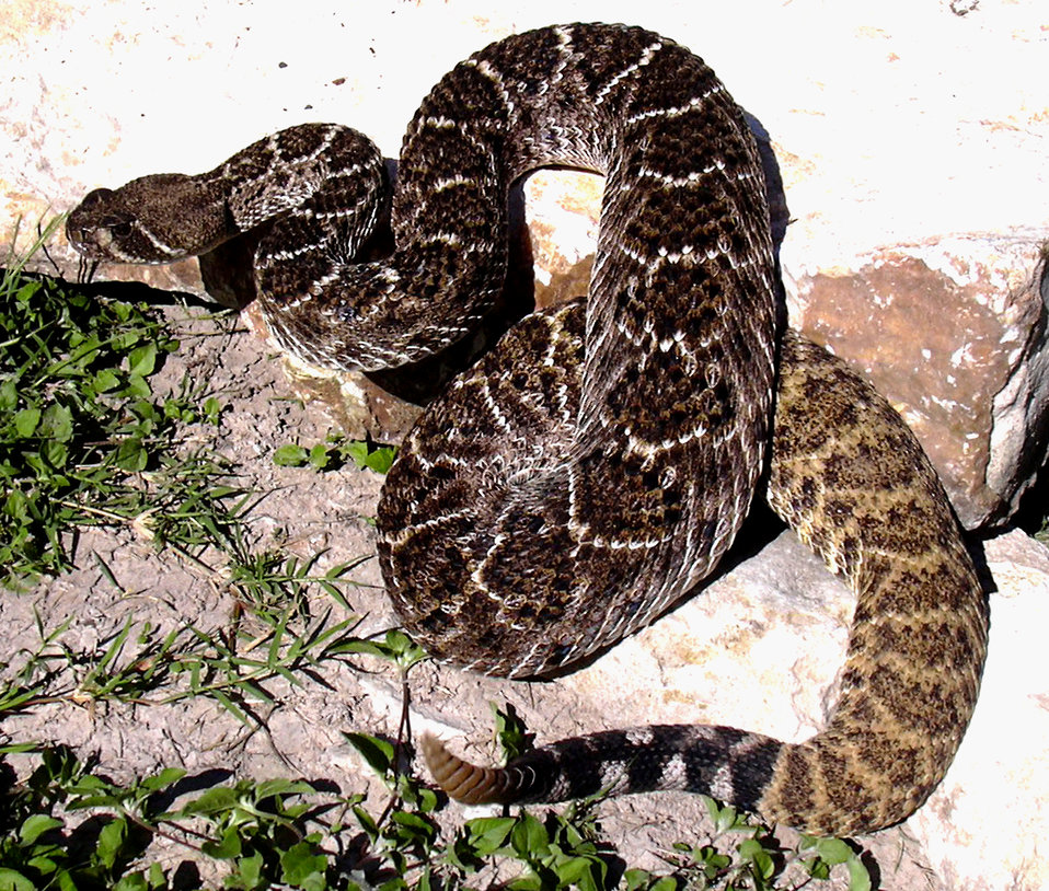 This 'western diamondback' rattlesnake, Crotalus atrox, is a well known, large, gray to rust-colored serpent that is widely distributed acro