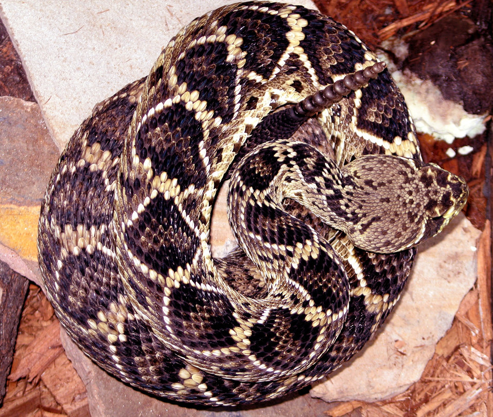 This is a venomous 'Eastern diamondback' rattlesnake, Crotalus adamanteus. Large, gray to olive-colored, it ranges across the southeastern U