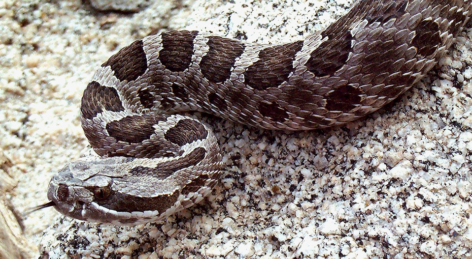 This image depicted a 'western Massasauga' rattlesnake, Sistrurus cantenatus tergeminus, which is spottily distributed throughout the Great