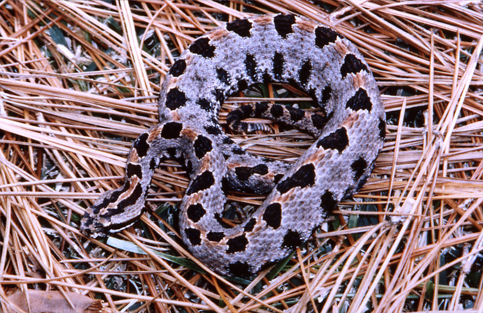 This 2005 photograph depicted a 'western pygmy' rattlesnake, Sistrurus miliaris streckeri, which ranges throughout most of Mississippi, Arka