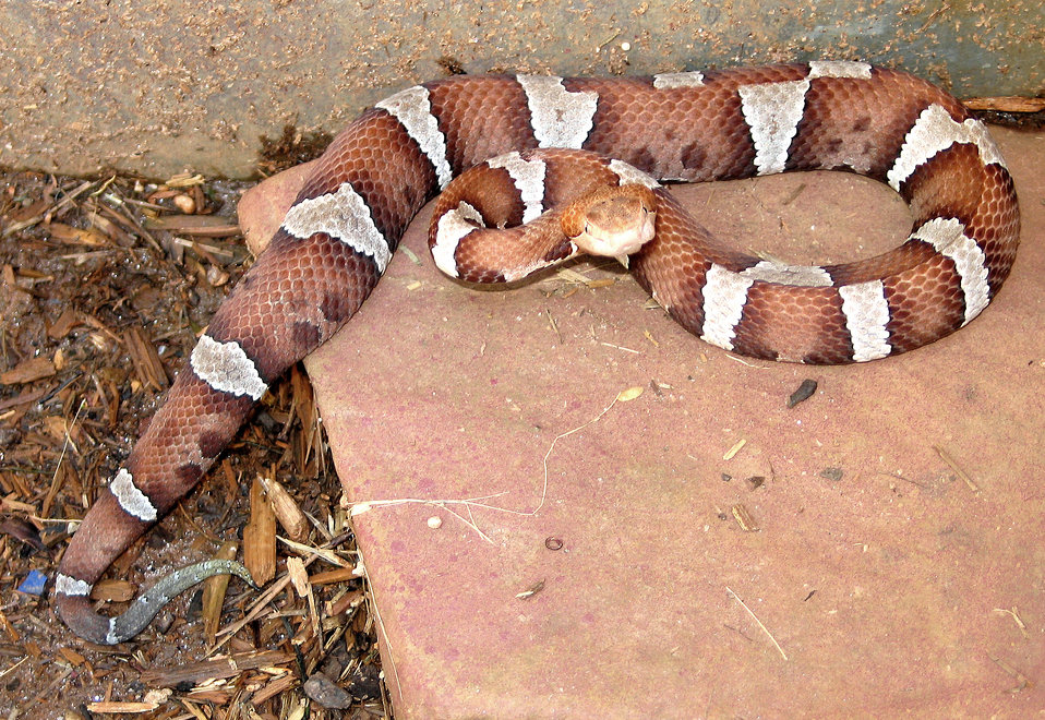 This 2005 image depicted a venomous 'trans-Pecos' copperhead snake, Agkistrodon contortrix pictigaster. As the southwestern-most subspecie,
