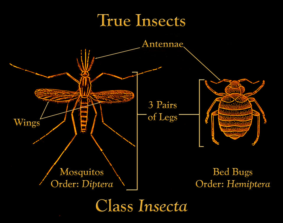 This drawing depicts the anatomic features found in members of the Class Insecta showing a mosquito and bedbug as examples.