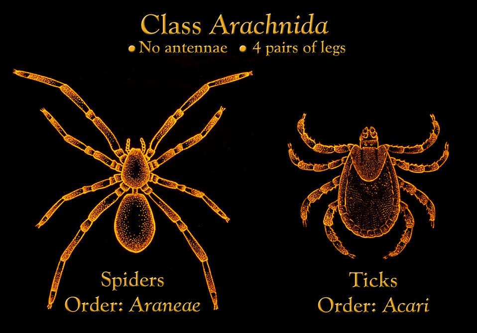 This image shows the anatomic differences between the two arachnid Orders of spiders, Araneae, and ticks, Acari.