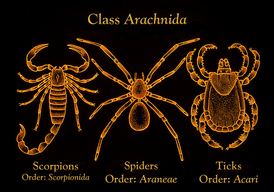 This illustration depicts morphologic differences found in scorpions, ticks, and spiders, all members of the Class Arachnida.