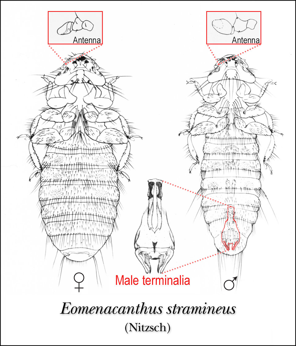This illustration of female and male 'chicken louse', Eomenacanthus stramineus, reveals the insect's ventral surface.