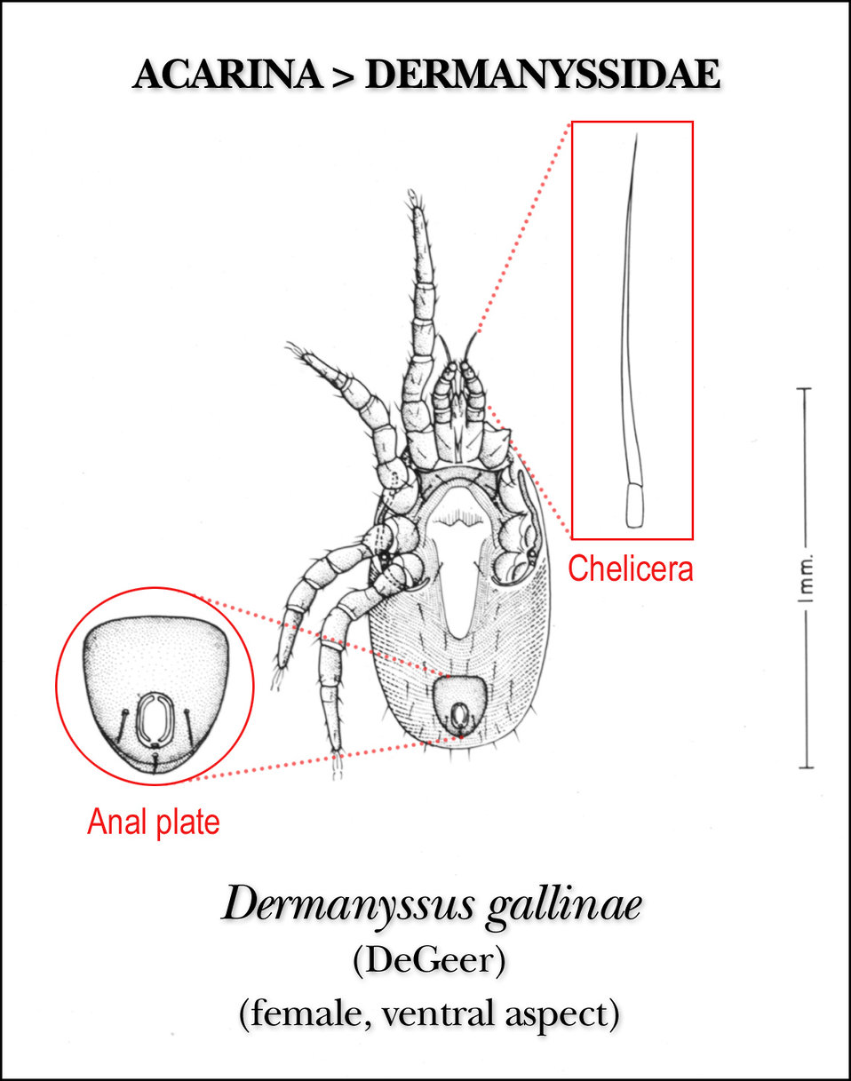 This illustration of a female 'red mite', Dermanyssus gallinae, reveals the insect's ventral morphologic characteristics.