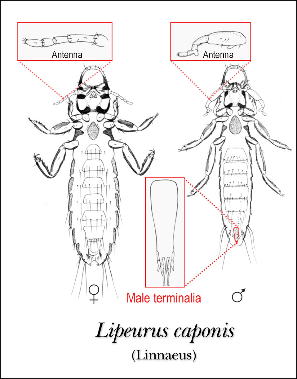 This illustration depicts the ventral features of the male and female louse, Lipeurus caponis.