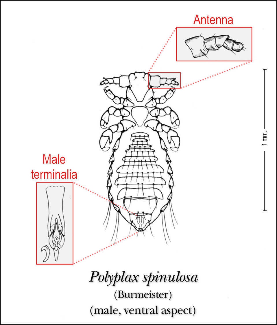 This illustration depicts the ventral features of the male louse, Polyplax spinulosa.