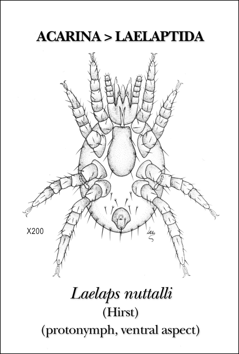 This illustration reveals the morphologic features on the ventral surface of the protonymph staged mite, Laelaps nuttalli.