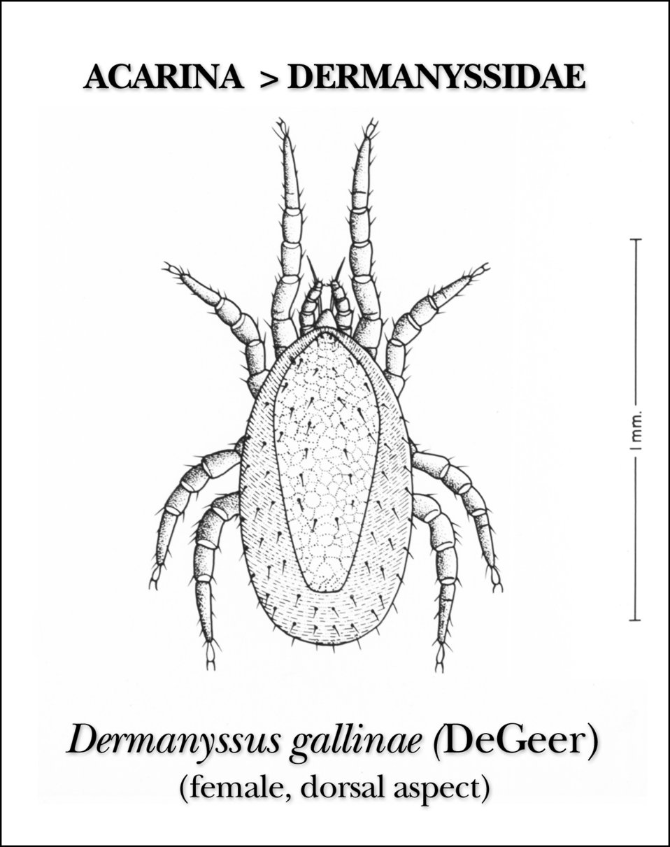 This illustration reveals the morphologic characteristics on the dorsal surface of the female mite Dermanyssus gallinae.