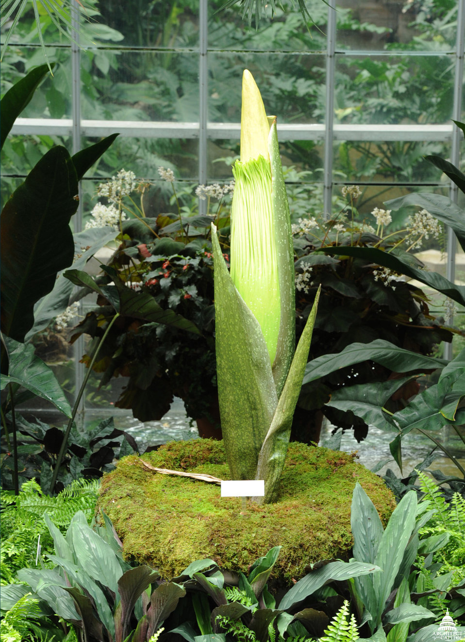 Titan Arum (Amorphophallus titanum) at the U.S. Botanic Garden