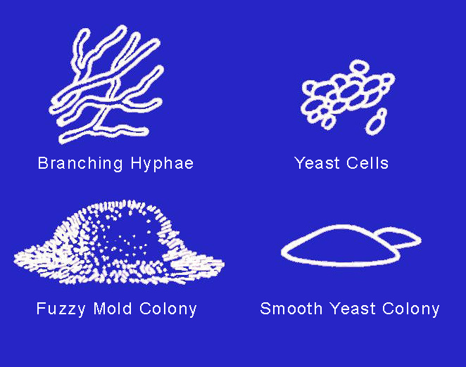 Illustration showing fuzzy mold colony and smooth yeast colony.