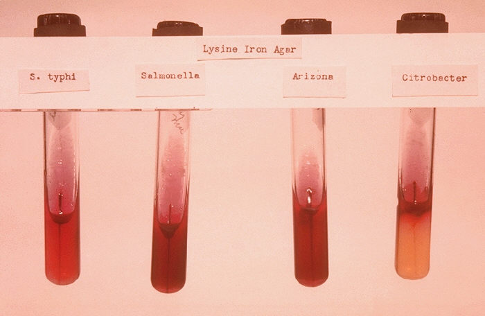 Stab cultures of Salmonella typhi and controls.