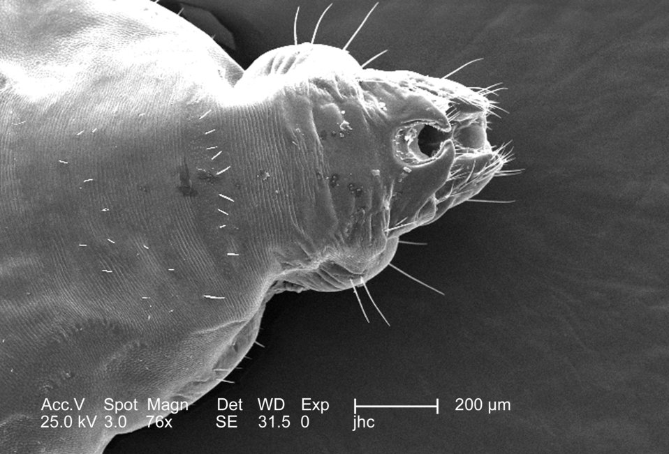 This 2006 scanning electron micrograph (SEM), under a low magnification of only 76x, revealed the distal tip of the abdominal region of a fe