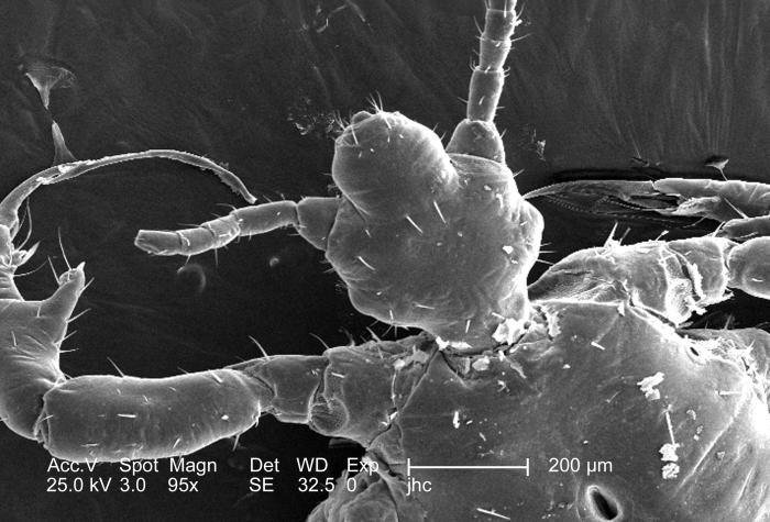 At a low magnification of 95x, this 2006 scanning electron micrograph (SEM) depicted an enlarged dorsal view of the cephalic, or head region