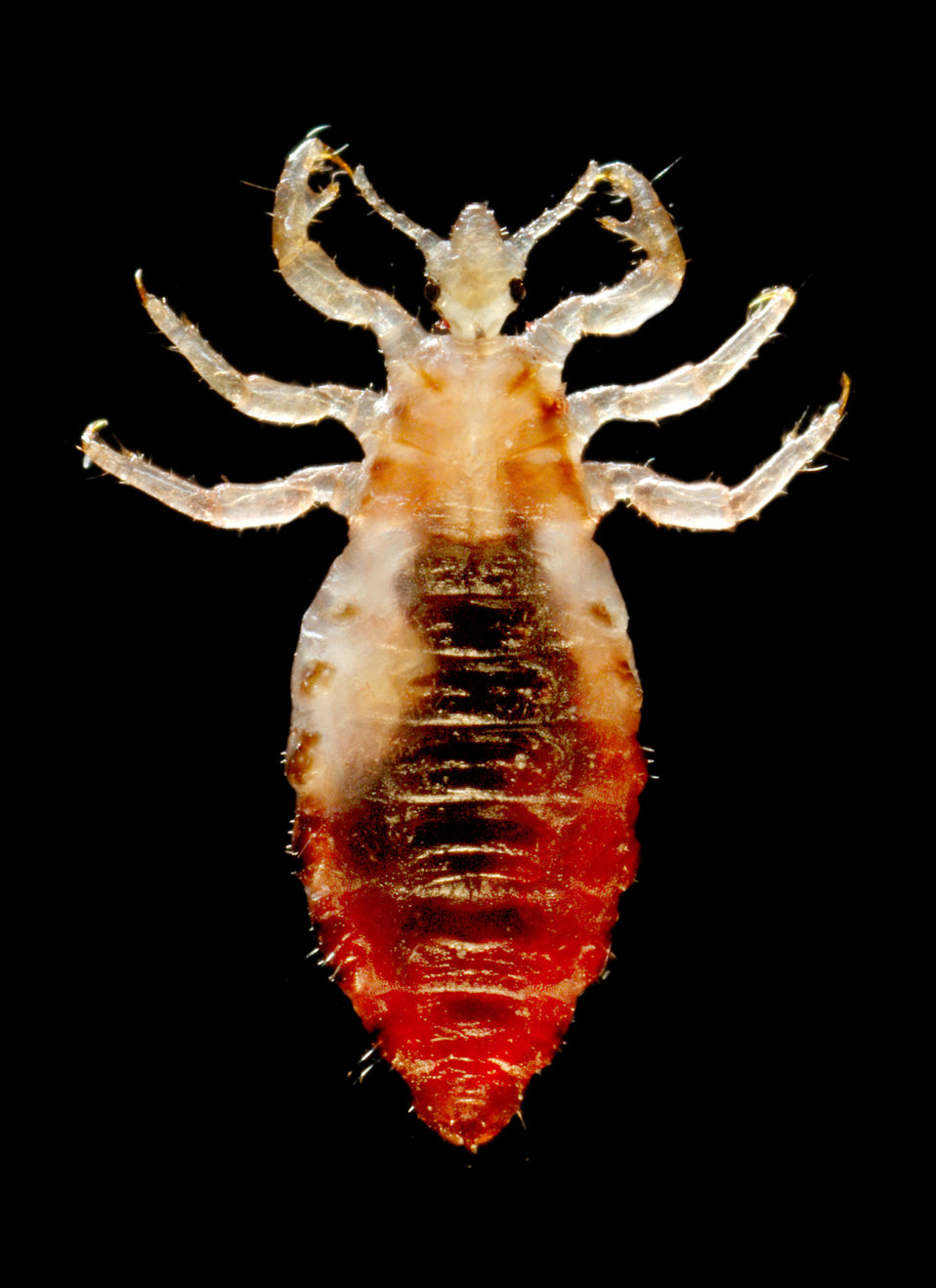 This 2006 photograph depicted a dorsal view of a male body louse, Pediculus humanus var. corporis. Some of the external morphologic features