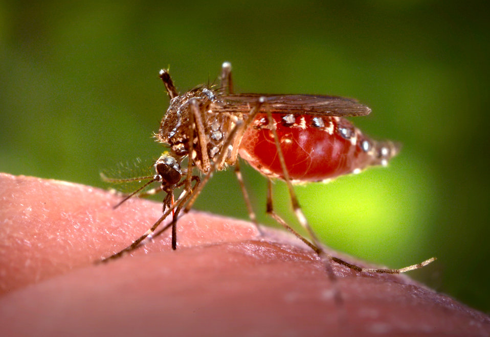 This 2006 image depicted a female Aedes aegypti mosquito as she was obtaining a blood-meal from a human host through her fascicle, which had