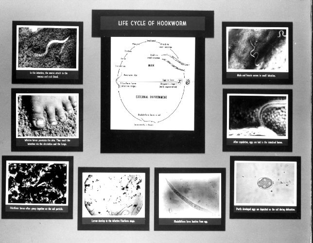 Display showing the life cycle of a hookworm.
