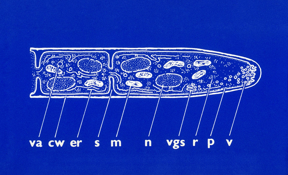 This illustration depicted some of the ultrastructural components found at the hyphal tip of a fungal organism.